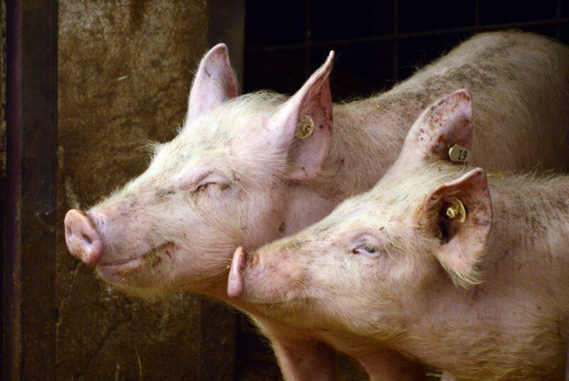 pigs-3967549